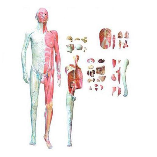 人体全身层次解剖附内脏模型 KAR/10001-1 人体全身层次解剖附内脏模型KAR/10001-1 功能特点: 该模型由男性头颈部、躯干和四肢组成,示人体全身肌肉、全身血管神经,大部分肌肉及全部内脏能拆下示教,可分解成28部件。 人体全身层次解剖附内脏模型KAR/10001-1 尺寸: 自然大,高173cm,宽50cm,深24cm 人体全身层次解剖附内脏模型KAR/10001-1 材料: 磁铁联接可拆